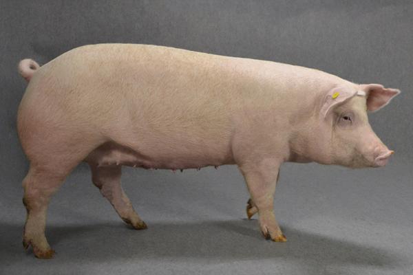ハイコープ種豚の育種改良情報   全農畜産サービス株式会社